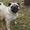Куплю щенка мопса до 2 мес. для себя #1646000